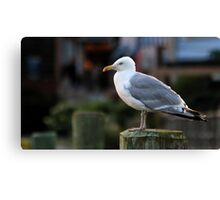 Herring Gull - Watching the Fishing Boats Canvas Print