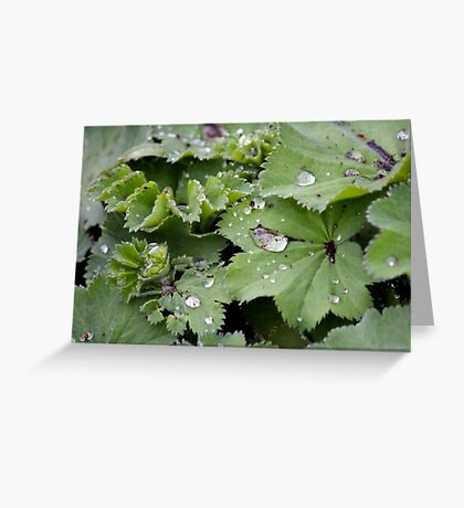Captured Dew on Lady's Mantle Greeting Card