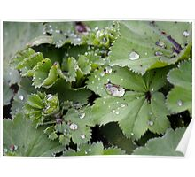 Captured Dew on Lady's Mantle Poster