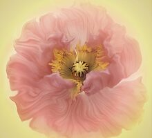 The new little pink poppy by EbyArts