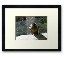 Shake, Rattle And Roll - Maroon-Bellied Conure NZ Framed Print