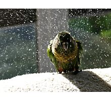 Shake, Rattle And Roll - Maroon-Bellied Conure NZ Photographic Print