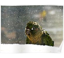 Is It Snowing? - Maroon-Bellied Conure NZ Poster