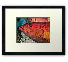 Coney Grouper animal, animal wildlife Framed Print