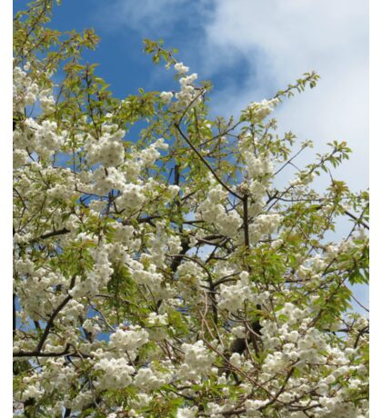 White Tree Blossoms against Blue Sky Sticker