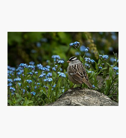 White Crowned Sparrow Photographic Print