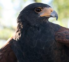 Harris Hawk... by RichImage