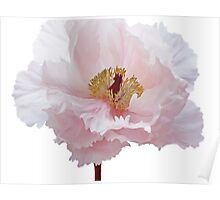 Pink Tree Peony Flower Poster