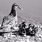 Moma Mallard and her Babie's by Carla Jensen