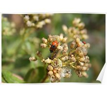 Two Ladybugs on Thistle Poster
