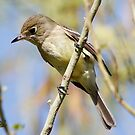 Pacific-slope Flycatcher  by Dennis Cheeseman