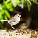 Female Splendid Fairy Wren by mncphotography