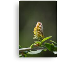 Pussy Willow In Spring Canvas Print