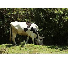Holstein Cow Next to a Bush Photographic Print