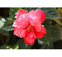 Pink Hibiscus Flower Photographic Print