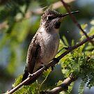 Anna's Hummingbird by Dennis Cheeseman