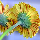 gerbera daisy by flashcompact