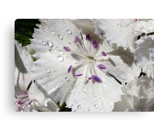 White Sweet William Canvas Print