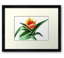 Frilly Orange Tulip Framed Print