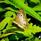 White Peacock Butterfly by TJ Baccari Photography