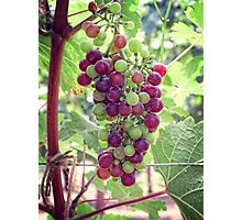 Mixed Grapes Photographic Print