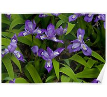 Dwarf Crested Iris Poster