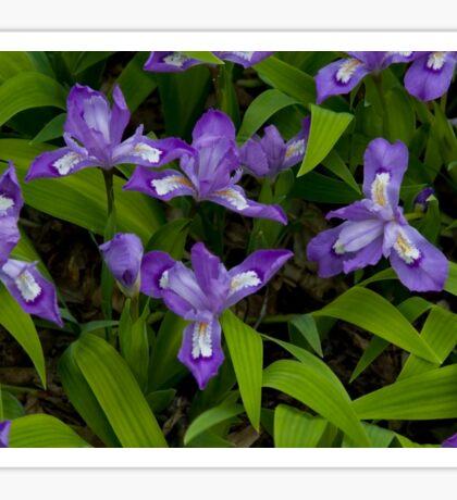 Dwarf Crested Iris Sticker