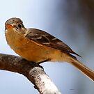 Buff-breasted Flycatcher by Dennis Cheeseman