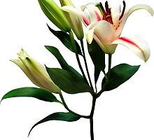 Elegant Lily and Buds by Susan Savad