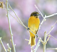 Female Baltimore Oriole by Laurie Minor