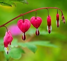 Bleeding Hearts - Lamprocapnos-spectabilis by Susie Peek