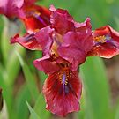 Lady In Red Iris by Debbie Oppermann
