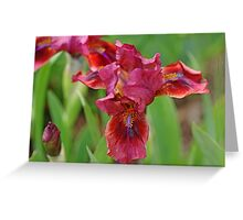 Lady In Red Iris Greeting Card