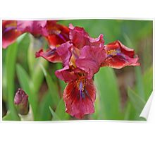 Lady In Red Iris Poster