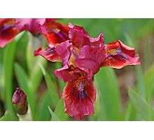 Lady In Red Iris Photographic Print