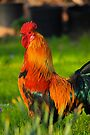 Regal Rooster by NatureGreeting Cards ©ccwri
