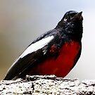 Painted Redstart  by Dennis Cheeseman