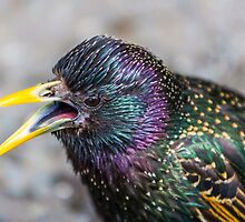 STARLING by David  Rowlatt