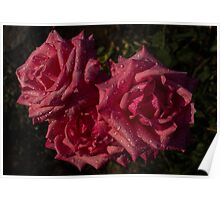 Pretty In Pink - Three Fabulous Old Fashioned Sweetheart Roses Poster