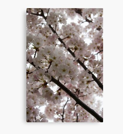 Spring is Beautiful - A Cloud of Pastel Pink Blossoms Canvas Print