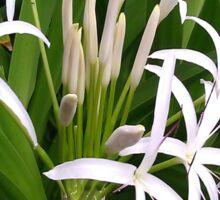 White Spiders (Spider Lily)  Sticker