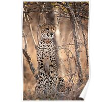 young cheetah sat in the bush Poster