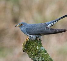 Cuckoo by M.S. Photography/Art