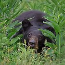 Black Bear in Cades Cove by photodug