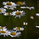 Daisy's In The Cove by photodug