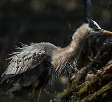 Great Blue Heron by Michael Cummings