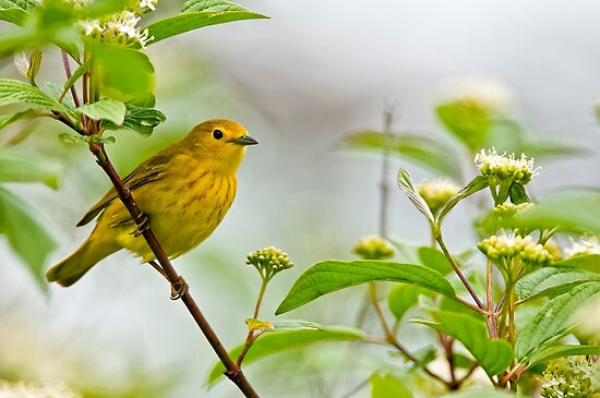 Yellow Warbler - Long Sault, Ontario by Michael Cummings