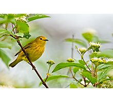 Yellow Warbler - Long Sault, Ontario Photographic Print