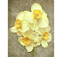 NARCISSUS BEAUTIFUL EYES (Daffodils) Photographic Print
