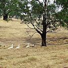 Geese On their way to the Dam!  'Arilka' Mount Pleasant. by Rita Blom
